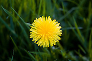 Dandelion, Stow-on-the-Wold, England, United Kingdom