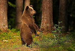 An Eurasian Brown Bear Cubis standing on his hind legs to spot an approaching adult male in a swamp in Finland.