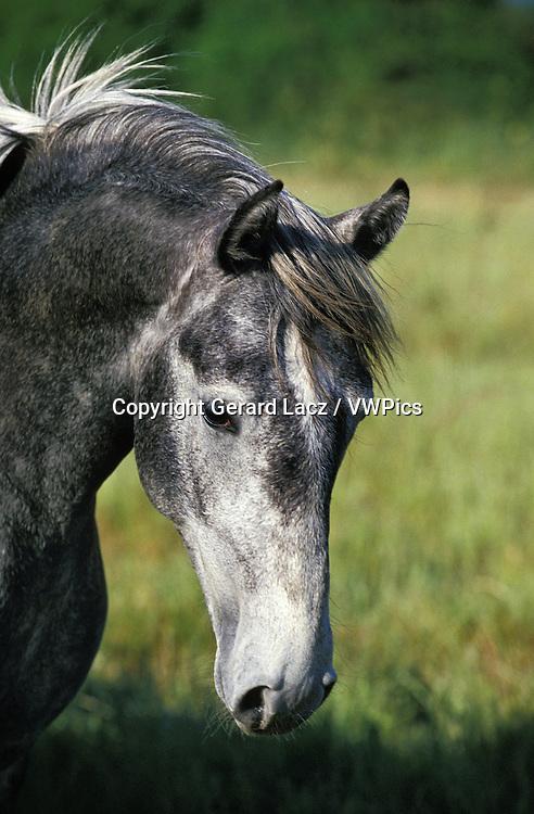 Lipizzan Horse, Portrait of Adult
