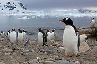 Adult Gentoo Penguins (Pygoscelis papua) in Neko Harbor, Andvord Bay.