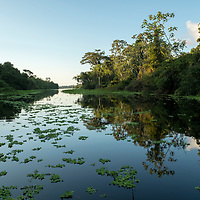 A beautiful scene on Nauta Caño with reflections of trees and water lettuce plants covering the still waters. Pacaya Samiria National Reserve, Upper Amazon, Peru.