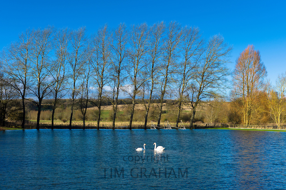 Mute swans, Cygnus olor, on flooded cricket pitch field in The Cotswolds at Swinbrook, Oxfordshire, UK