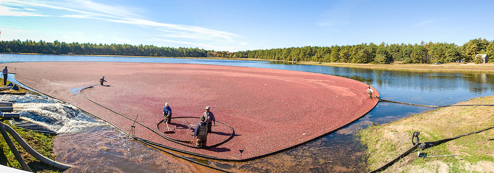 Cranberry Harvest, Plymouth MA, Red, Cranberries