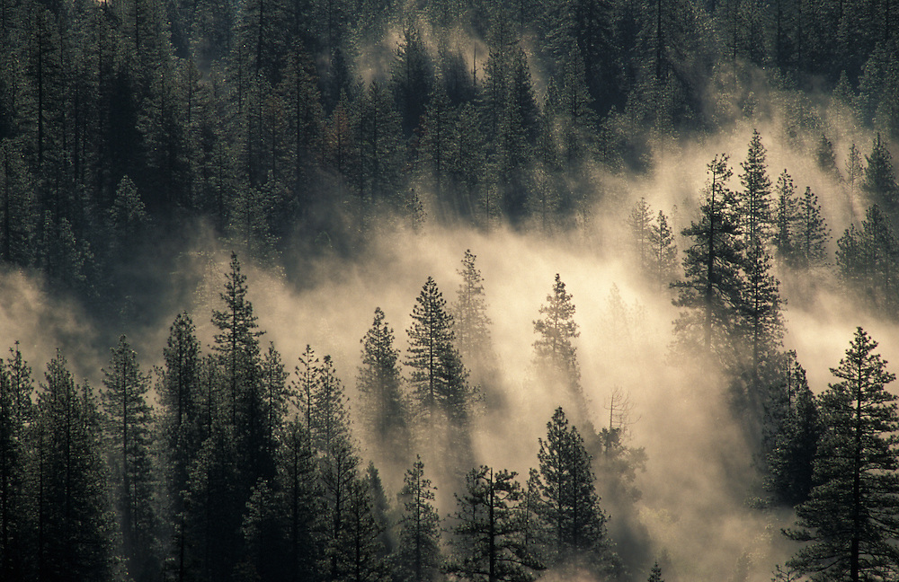 Ground fog and pine trees in Yosemite Valley; Yosemite National Park, California.