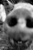 Pig face close up, Mexico 1993