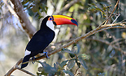 Toco toucan (Ramphastes toco albogularis) from Iguazu Falls, Agrentina.