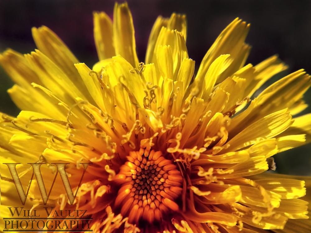 Dandelion Macro shot