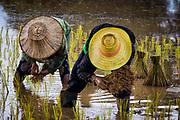 Transplanting rice in Nakhon Nayok, Thailand.