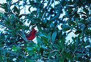 Northern Cardinal (Cardinalis cardinalis), Pelican Island National Wildlife Refuge, Sebastian, Florida, US