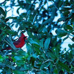 Northern Cardinal (Cardinalis cardinalis), Pelican Island National Wildlife Refuge, Sebastian, Florida, US