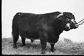 1971 Bull show, RDS, Dublin, IrelandD626-384