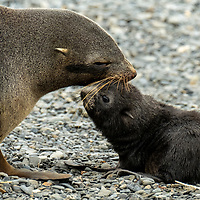 A female Antarctic fur seals nuzzles her pup on a rocky beach at Fortuna Bay, which is part of the Shackleton Hike that leads to Stromness on South Georgia Island.