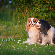 Images of Siobhan and Connor, two King Charles Spaniels, at Withdean Park, Brighton.