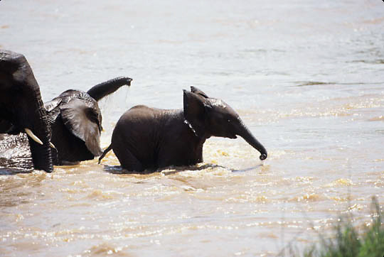 African Elephant, (Loxodonta africana)  Babies playing in Mara River cooling off. Masai Mara Game Reserve. Kenya. Africa.