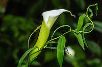 Calla Lily [Zantedeschia aethiopica; Araceae]; Cabanas San Isidro & Reserve, Ecuador