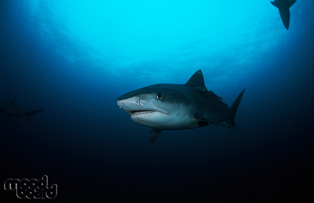 Tiger Shark (galelcerdo cuvieri) underwater view