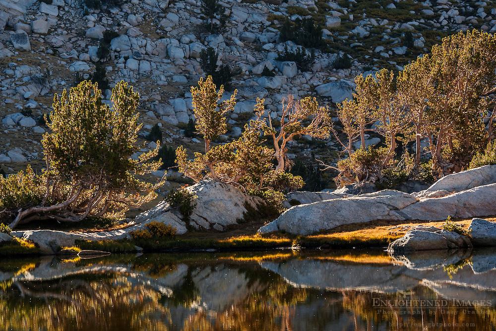 Backlit trees at sunrise at Vogelsang Lake; Yosemite National Park; California