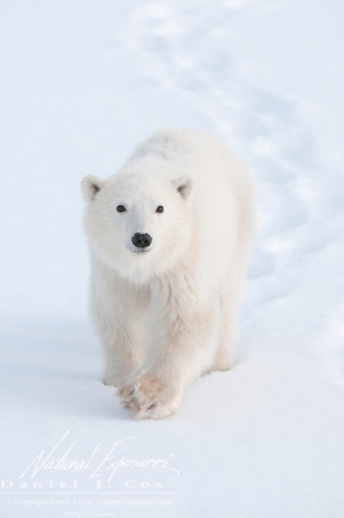 A polar bear cub near Churchill, Manitoba.