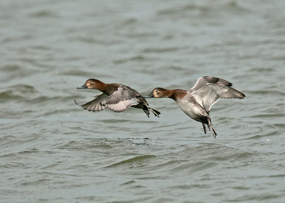 Pochard - Aythya ferina - Females in flight.  L 42-49cm. Distinctive diving duck with long bill, curving forehead and peaked crown. Gregarious in winter, often with Tufted Ducks. Both sexes have dark bill with pale grey band. In flight, all birds have uniform grey wings with dark trailing edge to outer flight feathers. Sexes are dissimilar in other regards. Adult male has reddish orange head, black breast, finely marked grey flanks and back, and black stern. In eclipse, black elements of plumage are sooty brown. Adult female has brown head and breast, grey-brown back and flanks, and pale 'spectacle'. Juvenile resembles adult female but plumage is more uniformly brown. Voice Mostly silent. Status Scarce breeder but locally common in winter: migrants arrive from mainland Europe. Favours flooded gravel pits, reservoirs and lakes.
