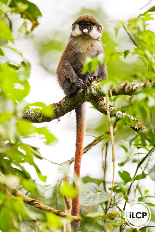 Red-tail Monkey (Cercopithecus ascanius) young, Kibale National Park, western Uganda