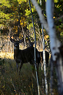 Two white-tailed bucks at the edge of a forest meadow in fall. Glacier National Park, northwest Montana.