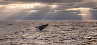 A humpback whale (Megaptera novaeangliae) breaching under rays of light in Monterey, California.
