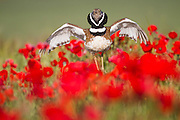Little Bustard (Tetrax tetrax) male display, jumping on the lek between poppies. Lleida province. Catalonia. Spain.
