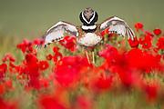 Little Bustard (Tetrax tetrax) male display, jumping on the lek between poppies. Lleida province. Catalonia. Spain.