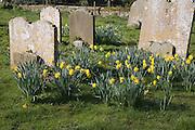 Spring daffodils in country churchyard, Middleton, Suffolk, England