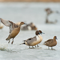 hen nothern pintail takes off from water leaving drake behind