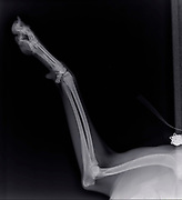 X-ray of a dog's front right leg at a veterinary surgery