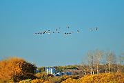 Canada geese and grain bins in autumn<br /> Tuxford<br /> Saskatchewan<br /> Canada