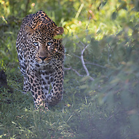 Male leopard walking through a forested area of the Maasai Mara, Kenya