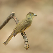 Grey-eyed Bulbul (Iole propinqua) in Kaeng Krachan National Park, Thailand.