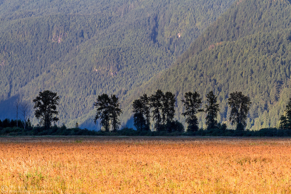 A row of Black Cottonwood trees (Populus balsamifera ssp. trichocarpa) stand along the dike at the Pitt-Addington Marsh near sunset - in Pitt Meadows, British Columbia, Canada