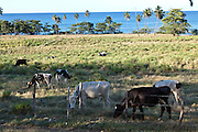 Milk cows along a stretch of beach front in Rincon Puerto Rico