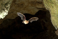 Eastern Pipistrelle (Pipistrellus subflavus): Mammalia: Chiroptera: Vespertilionidae - in flight<br /> TEXAS: Williamson Co.<br /> Cave on Chester and Betty Critchfield's Property<br /> 11-Sep-2008<br /> J.C. Abbott