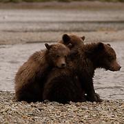 Alaskan Brown Bear (Ursus middendorffi) Three young cubs resting together, Katmai National Park. Alaska.