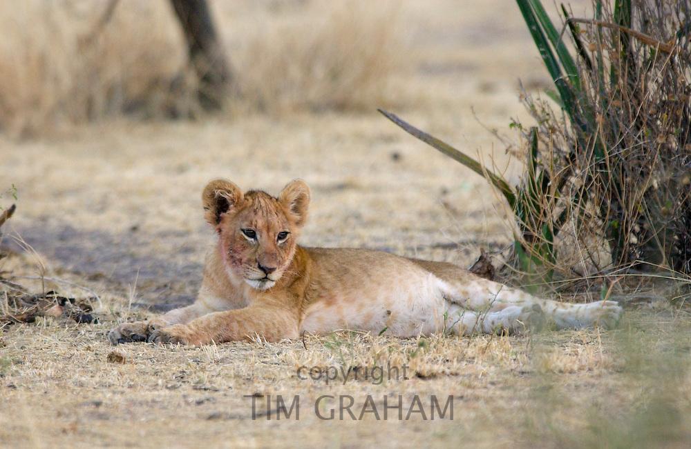 A lion Cub resting, Grumeti, Tanzania, East Africa