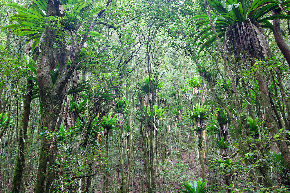 Birds nest ferns in Barrington Tops National Park, Australia