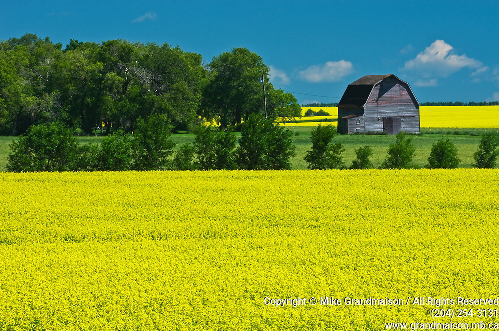 canola field, shelterbelt of trees and old barn<br />