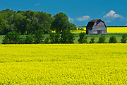canola field, shelterbelt of trees and old barn<br />Holland<br />Manitoba<br />Canada