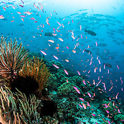 Coloful coral reef of Papua New Guinea.