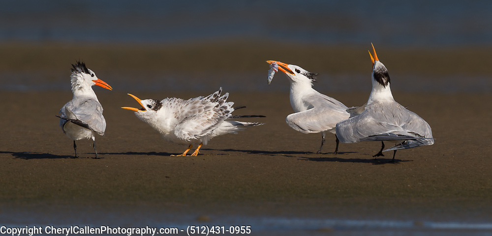 Royal Tern baby begging for food
