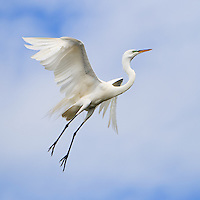 Wild great egret (Ardea alba) in flight about to land at its nest at the St. Augustine Alligator Farm Rookery, Anastasia Island, St. Augustine, Florida