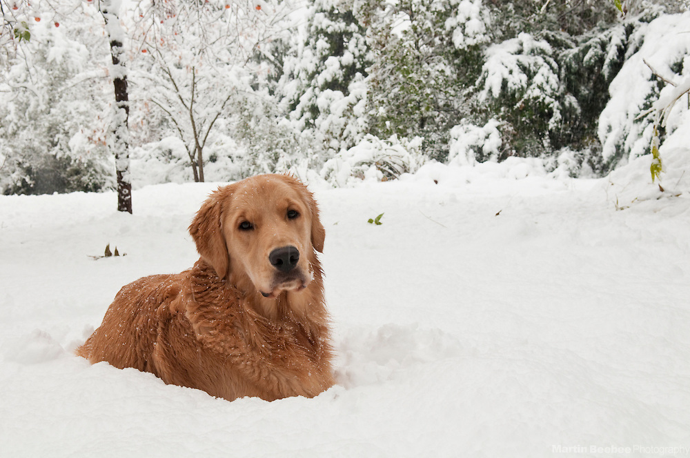 A dog (golden retriever) lying in the snow