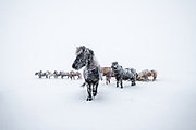 Horses in snow and snowstorm in north-Iceland.