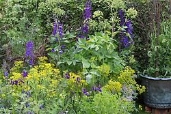 Delphinium Black Knight Group, Iris 'Pansy Purple', Lupinus pilosus, Angelica archangelica and Euphorbia ceratocarpa.