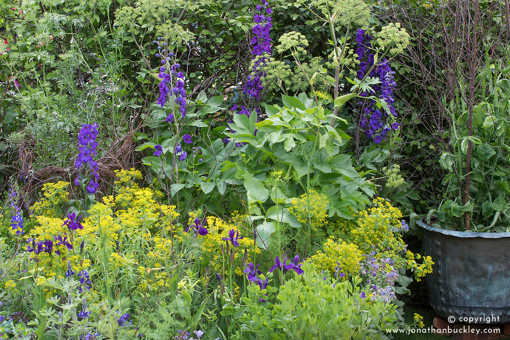 Delphinium Black Knight Group, Iris 'Pansy Purple', Lupinus pilosus, Angelica archangelica and Euphorbia ceratocarpa.