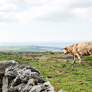 Cow at a pasture at County Clare